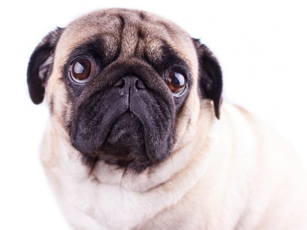 Portret van een pug hond met grote droevige ogen.