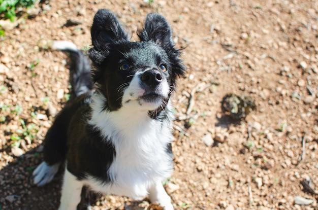 Portret van een puppy van de bodercollie.