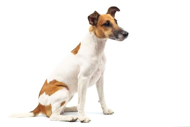 Portret van een rasechte gladde foxterriër van witte achtergrond