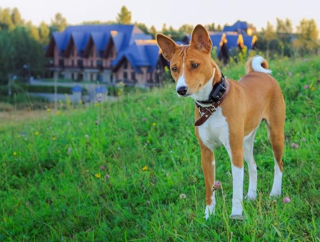 Portret van een rode basenji die zich bij zonsondergang in een groen gebied voor een wandeling in de zomer bevindt. hond in een speciale elektronische trainingshalsband. jachthond.
