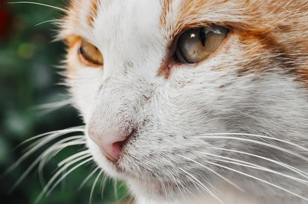 Portret van een rode en witte kat