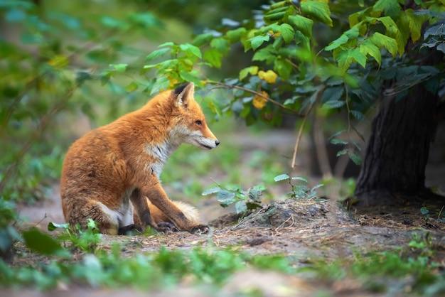 Portret van een rode vos (vulpes vulpes) in de natuurlijke omgeving