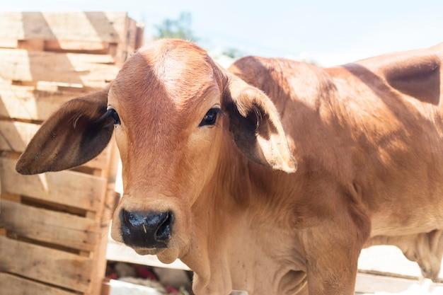 Portret van een roodbruine jonge stier, kalf. leuk dier, buitenshuis in zonnige zomerdag. sluit omhoog portret van aziatische gefrustreerde verstoorde koe zeboe met droevige ogen. stop met doden, dieren eten, ga veganistisch concept.