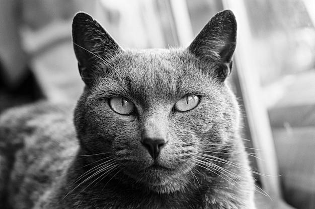 Portret van een russische blauwe gestreepte katkat die direct kijkt