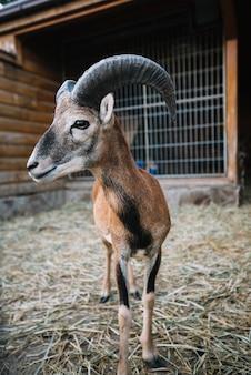 Portret van een schaap dat zich in de schuur bevindt
