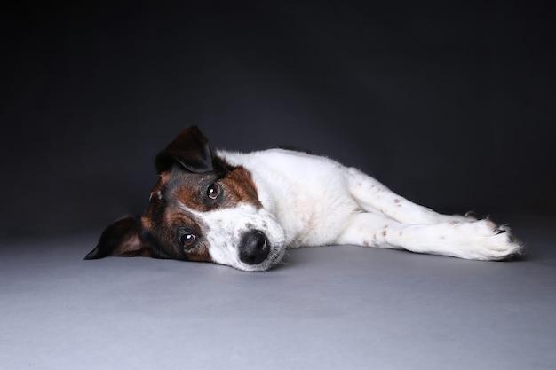 Portret van een schattig gemengd ras rode en witte hond op een grijze achtergrond