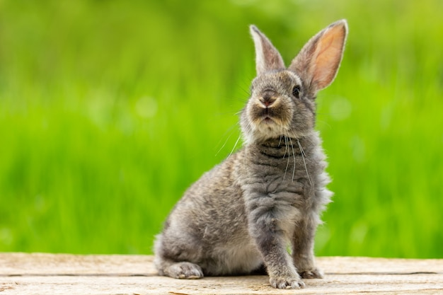Portret van een schattig pluizig grijs konijn met oren