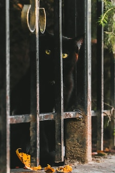 Portret van een schattige, attente zwarte straatkat die naar de camera kijkt van achter het hek.