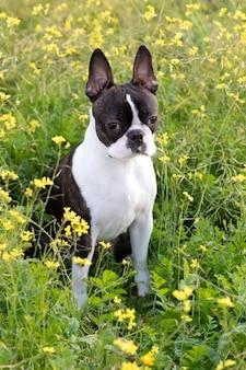 Portret van een schattige boston terrier