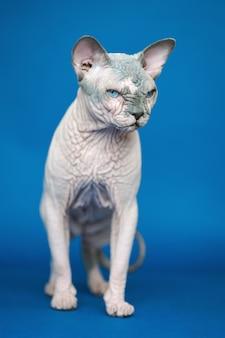 Portret van een schattige canadese sphynx-kat die over de volle lengte op een blauwe achtergrond staat