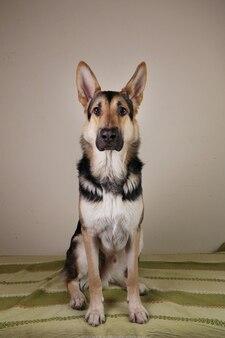 Portret van een schattige duitse herdershond die op een groene bank zit en naar de camera kijkt