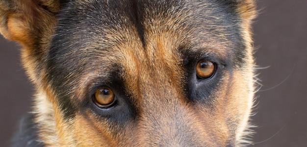 Portret van een schattige duitse herdershond, studioschot. honden ogen
