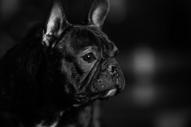 Portret van een schattige franse bulldog