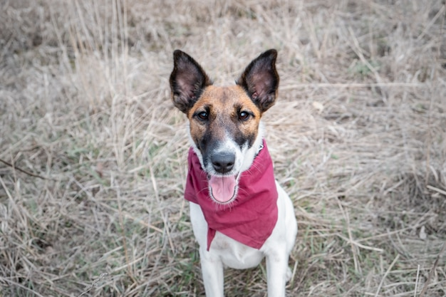 Portret van een schattige gladde fox terrier. gelukkig glimlachend puppy in bandanazitting op het gras