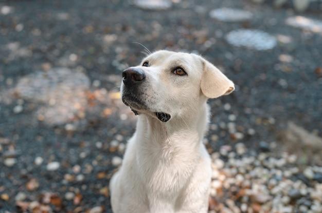 Portret van een schattige, hongerige witte hond die smeekt om eten met kleine dribbels in een rotstuin, vriendelijk huisdier, thaise hond