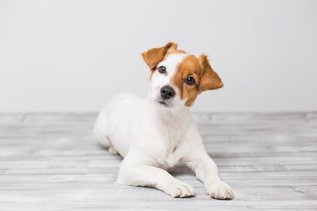 Portret van een schattige jonge kleine hond die op de witte houten vloer ligt, het rusten