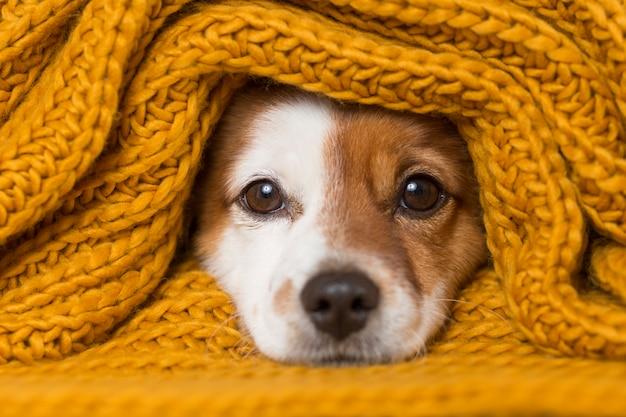 Portret van een schattige jonge kleine hond met een gele sjaal die hem bedekt