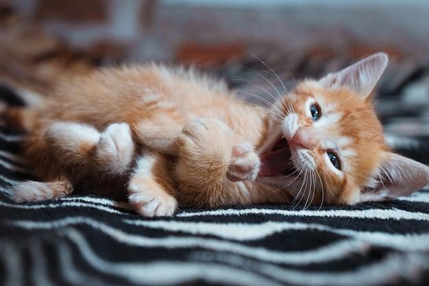 Portret van een schattige kat met blauwe ogen liggend op de deken met een open mond