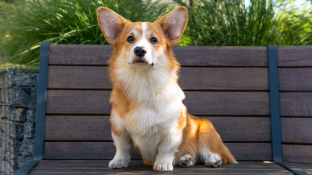 Portret van een schattige puppy corgi pembroke op de bank in het park.