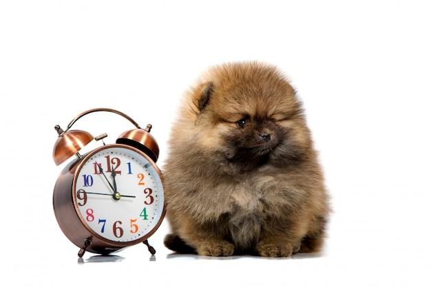 Portret van een schattige puppy met een klok, close-up, geïsoleerd