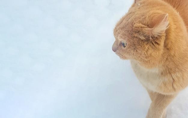 Portret van een schattige rode kat in de sneeuw, close-up, banner, plaats voor tekst