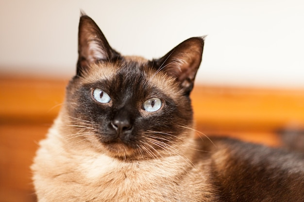 Portret van een schattige siamese raskat met mooie blauwe ogen.