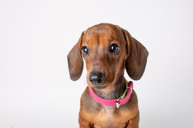 Portret van een schattige teckel pup