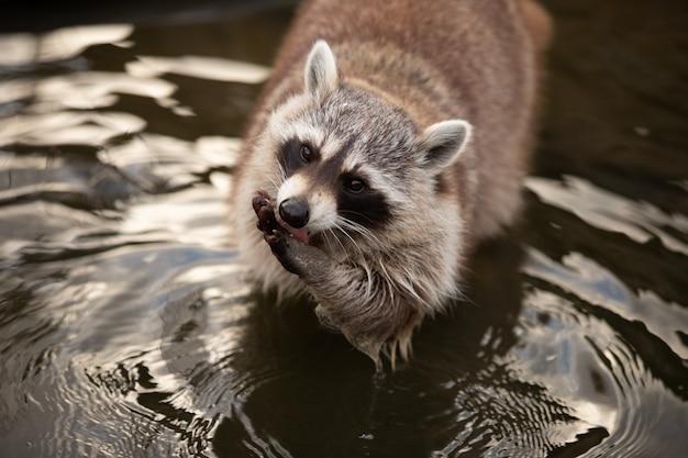 Portret van een schattige wasbeer in een vijver