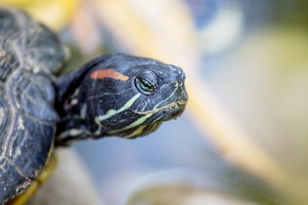 Portret van een schildpad die een symbool is van wijsheid