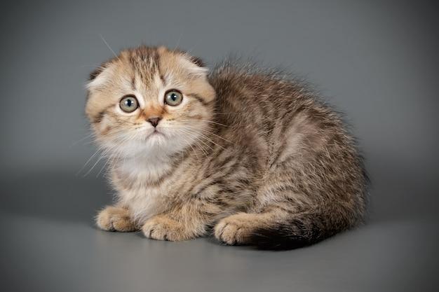 Portret van een scottish fold shorthair kat op gekleurde muur