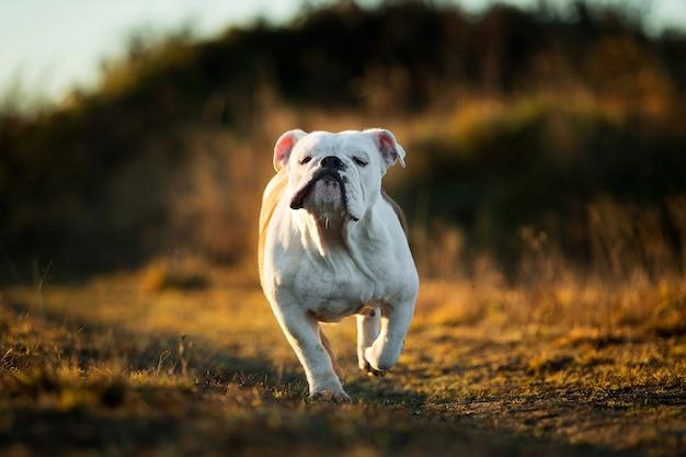 Portret van een serieus uitziende engelse bulldog die vooruit rent op het veld