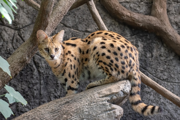 Portret van een serval kat roofdier close-up