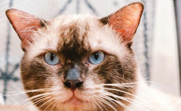 Portret van een siamese kat die naar de camera kijkt