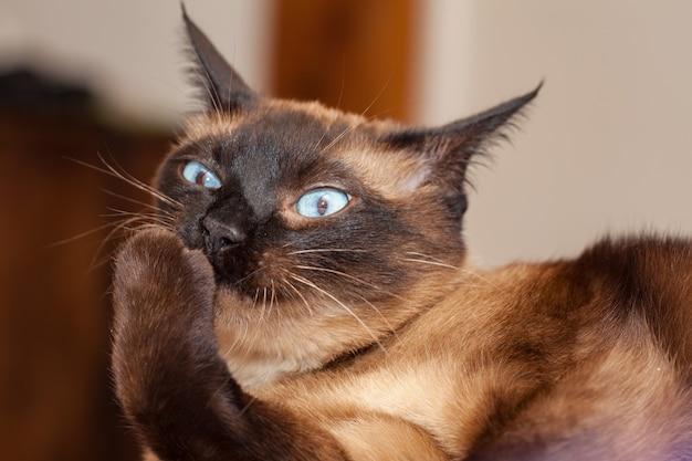 Portret van een siamese kat met mooie blauwe ogen die niet blij is met het hoofd van een kleine duivel met een nare blik