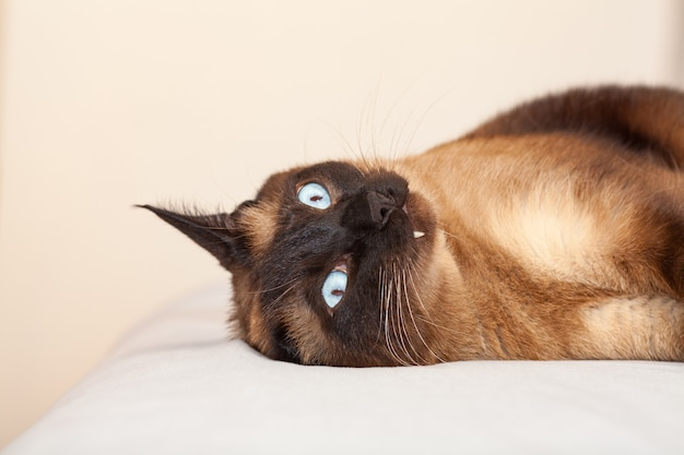 Portret van een siamese kat met mooie blauwe ogen die rust en op het bed slaapt