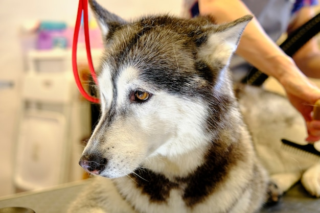 Portret van een siberische husky close-up tijdens het kammen van de ondervacht