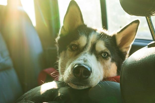 Portret van een siberische husky hond in een autosalon. lange reis