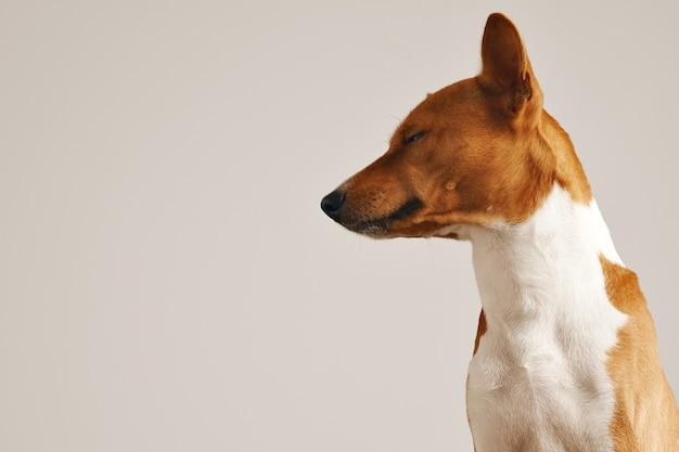 Portret van een slaperig uitziende schattige basenji-hond met half gesloten ogen