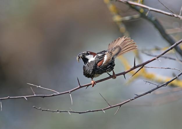 Portret van een spaanse mus of wilgenmusmannetje (passer hispaniolensis) zittend op een tak en gevangen prooi tonen aan het vrouwtje.
