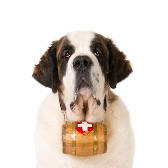 Portret van een st. bernard hond met een zwitsers reddingsvat om de nek