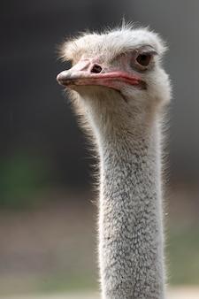 Portret van een struisvogel op de wazige grijze achtergrond