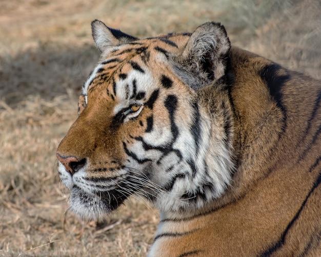 Portret van een tijger met een zachte achtergrond van gedroogde grassen