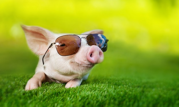 Portret van een varken dat een zonnebril draagt. knorretje rusten op de groene weide zoals op vakantie.