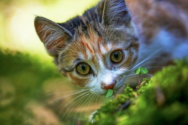 Portret van een volwassen grijze cyperse kat van bovenaf