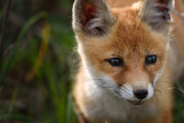 Portret van een vos close-up