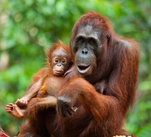 Portret van een vrouwelijke orang-oetan met een baby in het wild. indonesië. het eiland kalimantan (borneo).