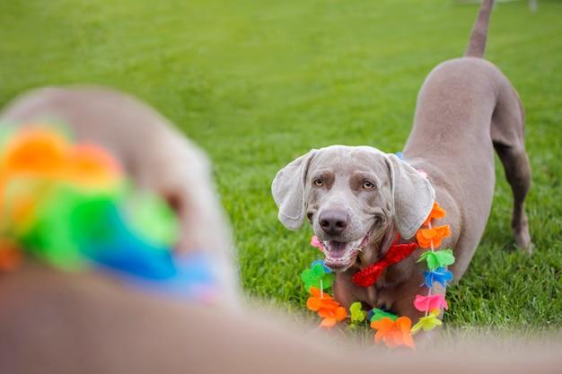Portret van een weimaranerhond, weimar, voor een andere hond van hetzelfde ras