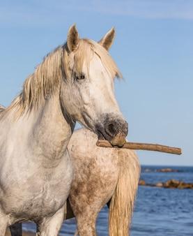 Portret van een wit camargue-paard met een stok in zijn mond. grappige foto