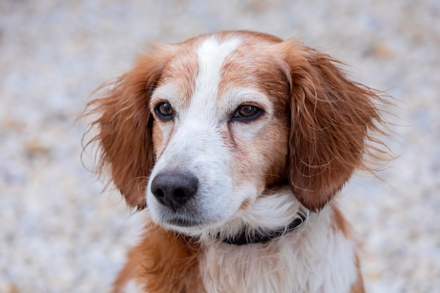 Portret van een witte en bruine hond buiten