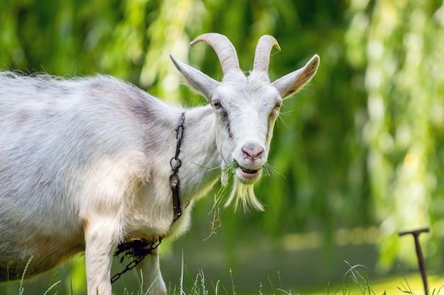 Portret van een witte geit die gras op aard eet